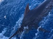Bite Me Sportfishing Charters, Hooked Up Blue Marlin