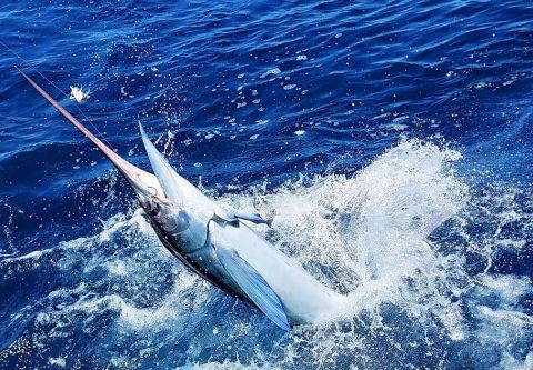 Calypso Sportfishing Charters, Billfishing Aboard the Calypso