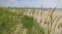 Sea Oats Are Blooming